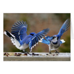 Blue Jays Squabbling over lunch Greeting Card