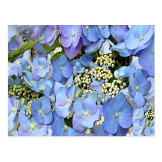 Blue Lacecap Hydrangeas Postcard