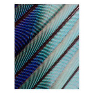 Blue Lilac Breasted Roller feather Postcard