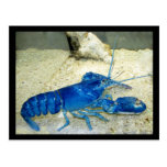 Blue Lobster Post Cards
