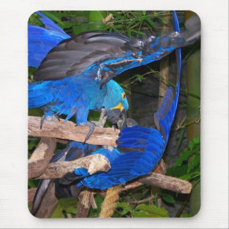 Blue macaw parrots fighting photograph picture mouse pad