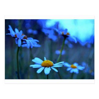 Blue Marguerites Postcard