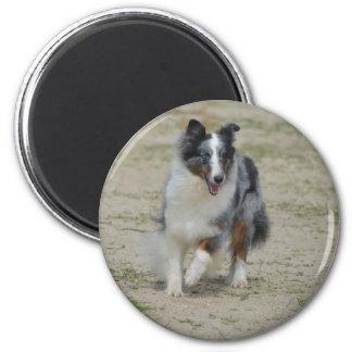 Blue Merle Australian Shepherd Magnet