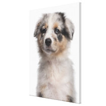 Blue Merle Australian Shepherd puppy close-up Canvas Print
