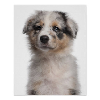 Blue Merle Australian Shepherd puppy close-up Poster