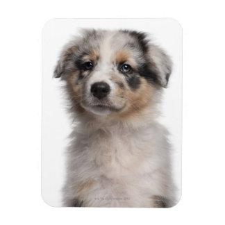 Blue Merle Australian Shepherd puppy close-up Vinyl Magnet