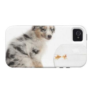 Blue Merle Australian Shepherd puppy looking at iPhone 4/4S Case