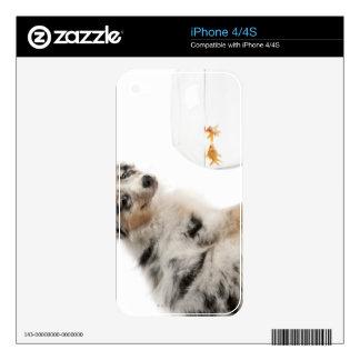 Blue Merle Australian Shepherd puppy looking Skins For iPhone 4S