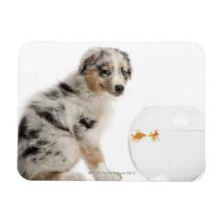 Blue Merle Australian Shepherd puppy Magnet