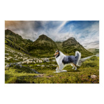 Blue Merle Collie Sheep herding in Highlands - Poster