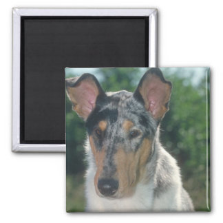 Blue Merle Collie Smooth Coat Magnet