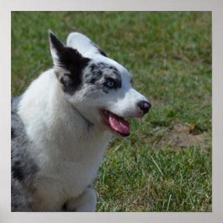 Blue Merle Corgi Dog Poster