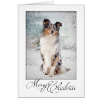 Blue Merle Sheltie Christmas Card