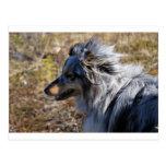 Blue Merle Shetland Sheepdog Vykort