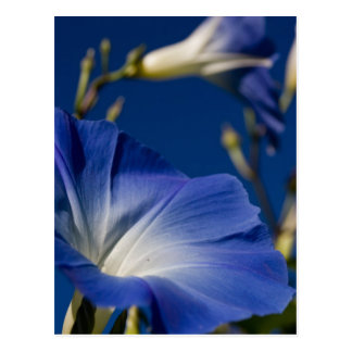 Blue Morning Glory Post Card