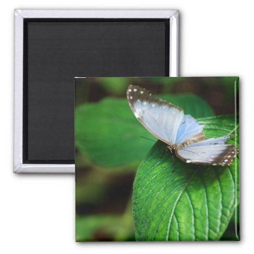 Blue Morpho 112 Magnet
