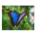 Blue Morpho Butterfly enjoy sweet peace joy Postcard