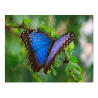 Blue Morpho Butterfly enjoy sweet peace joy Postcard