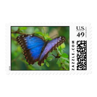 Blue Morpho Butterfly Postage Stamp