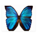 Blue Morpho Butterfly Postcard
