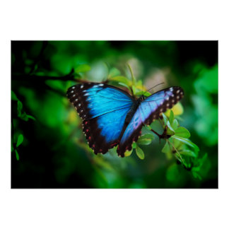 Blue Morpho Butterfly Posters