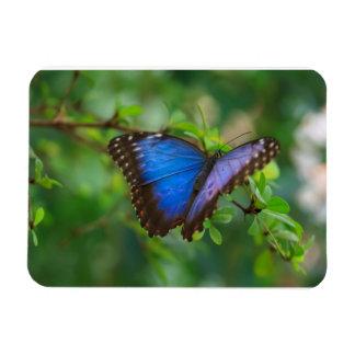 Blue Morpho Butterfly Premium Magnet