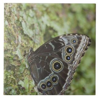 Blue Morpho, Morpho menelaus, adult newly 2 Ceramic Tile