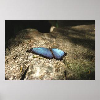 Blue Morpho, Niagara Parks, Canada Poster