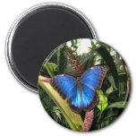 Blue Morpho Peleides Refrigerator Magnet