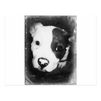 Blue Nose Pitbull Puppy Postcard
