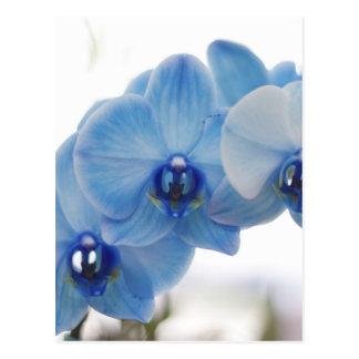 Blue Orchids Postcard