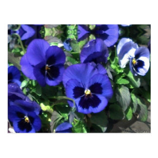 Blue Pansies 2013 Postcard