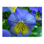 Blue Pansy Post Cards