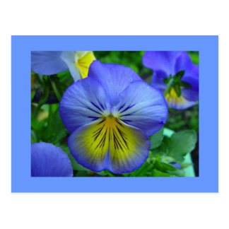 Blue Pansy Postcard