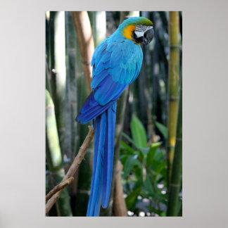 Blue Parrot photo Posters