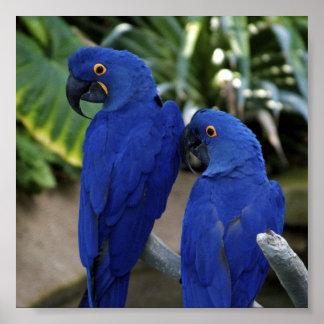 Blue Parrots Photo Poster