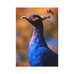 Blue Peacock Canvas Print