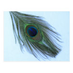 Blue Peacock Feather Post Cards
