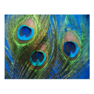 Blue Peacock Feathers Postcard