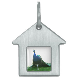 Blue peacock just grass clear sky pet ID tag