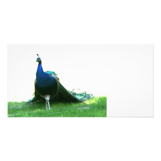 Blue peacock just grass clear sky photo greeting card