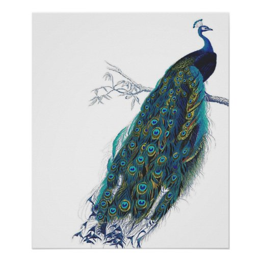 Blue Peacock with beautiful tail feathers Poster