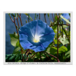 Blue Petunia on the Bridge of Flowers, Mass. Posters