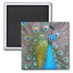 BLUE & PINK PEACOCK  MAGNET