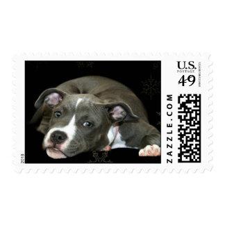 Blue pitbull puppy postage