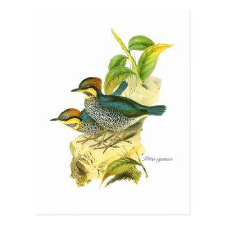 Blue pitta postcard
