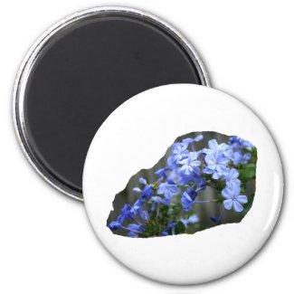 Blue Plumbago Flowers Cascade Photo magnet