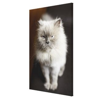 Blue Point Himalayan Cat looking irritated Canvas Print