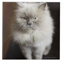 Blue Point Himalayan Cat looking irritated Ceramic Tile