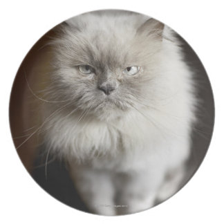 Blue Point Himalayan Cat looking irritated Plate